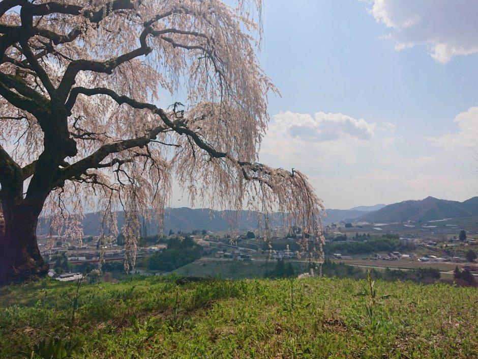 乙ヶ妻のしだれ桜と牧丘町の風景