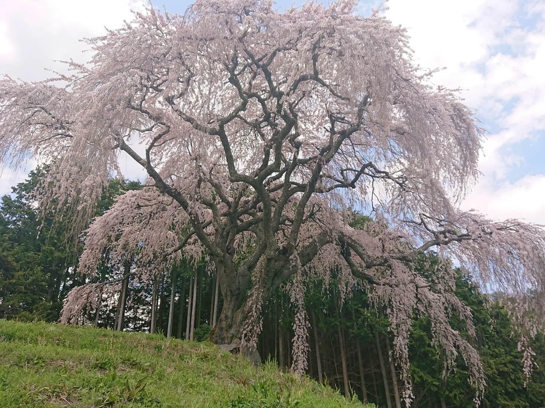 お下から見る乙ヶ妻のしだれ桜