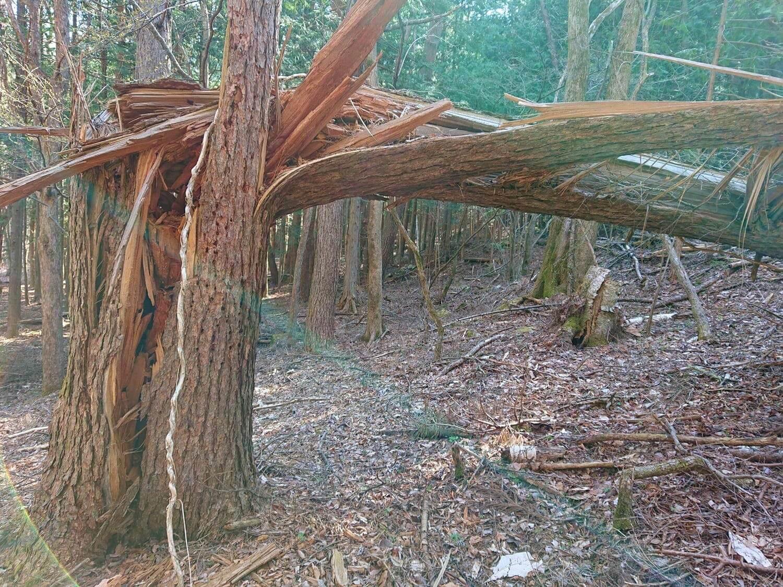 折れた大木