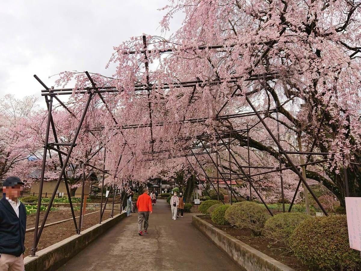 境内にあるしだれ桜