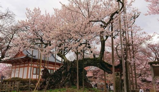 【神代桜】樹齢なんと約2000年!太古から咲き誇る日本三大桜を見に行こう!
