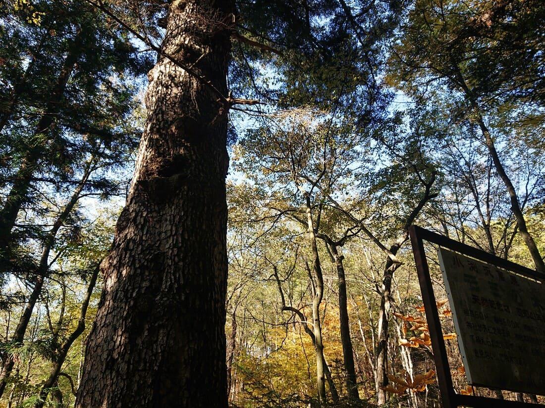 モミの巨木の大きさ